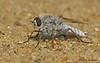 Stiletto Fly - Opal Sand Dunes, Alberta
