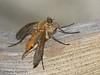 Marsh Snipe Fly, Rhagio tringarius