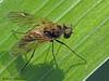 Snipe Fly, Edmonton, Alberta