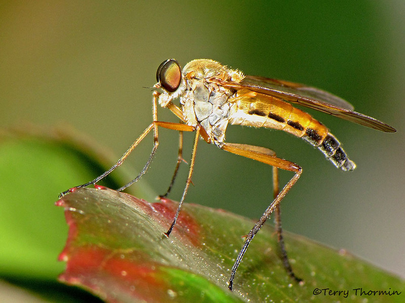 Snipe Fly, Rhagio sp. - Qualicum Beach, B.C.