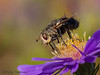 Tachinid fly, Tachinidae
