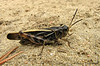 Coral-winged Grasshopper, Pardalophora apiculata -  Clyde