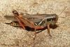Bruner's Spur-throated Grasshopper, Melanoplus bruneri