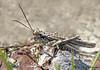 Hayden's Grasshopper, Derotmema haydeni