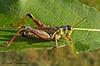 Red-legged Grasshopper, Melanoplus femurrubrum