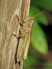 Two-striped Grasshopper, Melanoplus bivitattus - Clifford E. Lee Nature Sanctuary
