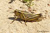 Two-striped Grasshopper, Melanoplus bivitattus