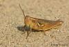 Spur-throated grasshopper, Melanoplus sp.