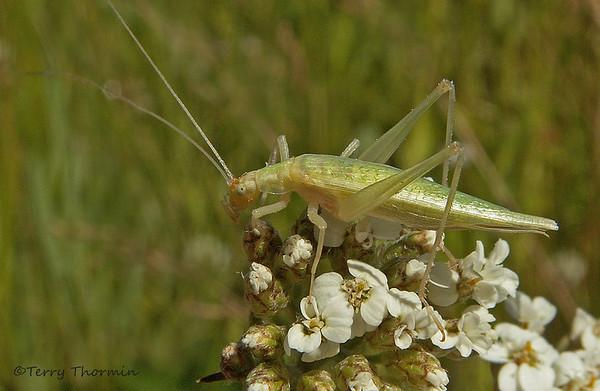 True Crickets
