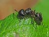 Carpenter Ant, Campanotus sp. - Devonian Botanic Garden, Devon, Alberta