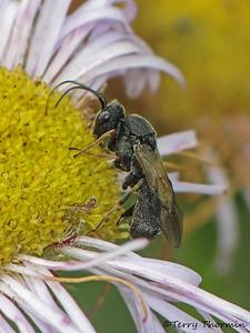 Braconid Wasps