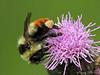 Bumble Bee, Bombus sp. - Edmonton, Alberta