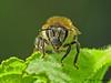 Honey Bee, Apis melifera