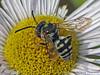 Cuckoo Bee, Epiolus sp. or Triepiolus sp. - Clyde, 9 km east, Alberta