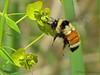 Tricoloured Bumblebee in flight at leafy spurge, Bombus ternarius - Edmonton, Alberta