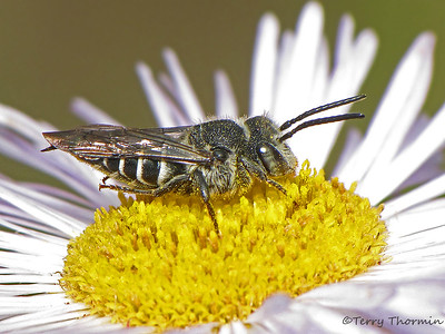 Leaf-cutter Bees