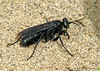 Spider wasp, Pompilidae - Rolling Hills sand dunes, Alberta