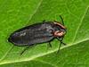 Firefly, Ellychnia sp. - Comox, B.C.