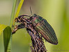 Metallic Wood-boring Beetle, Buprestis adjecta