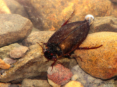 Predaceous Diving Beetles