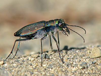 Tiger Beetles