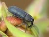 Weevil, Mecinus janthinus - Comox, B.C.