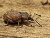 Weevil, Otiorhynchus singularis - Comox, B.C.