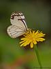 Pine White, Neophasia menapia