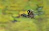 Blue-eyed Darner, Rhionaeschna multicolor pair flying in wheel position