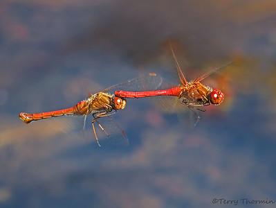 Autumn Meadowhawk