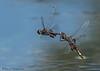 Black Saddlebags, Tramea lacerata flying in tandem