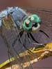 Blue Dasher, Pachydiplax longipennis