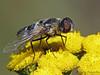 Bee Fly, Villa sp. - Cumberland Marsh, Cumberland, Vancouver Island, B.C.