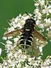 Soldier Fly, Stratiomys badia - Elk Island N.P., Alberta