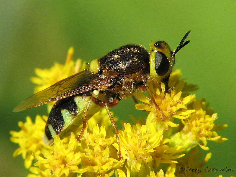Soldier Fly, Hedriodiscus binotatus - Wagner Natural Area, Spruce Grove, Alberta