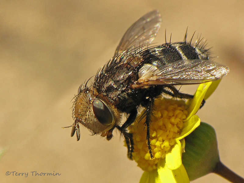 Tachinid fly, possibly Gonia sp. - Comox, B.C.
