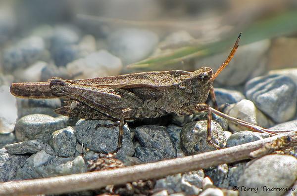 Pygmy Grasshoppers