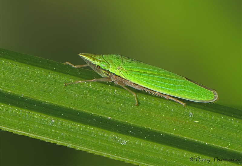 Leafhopper, Draeculacephala sp. - Woodhus Slough