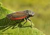 Leafhopper, Cuerna sp.