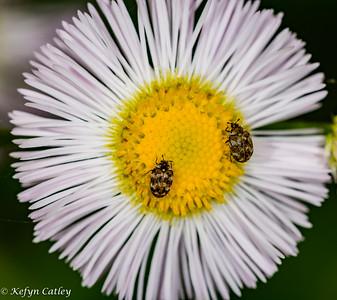 COLEOPTERA: Dermestidae: Anthrenus verbasci, varied carpet beetles on fleabane
