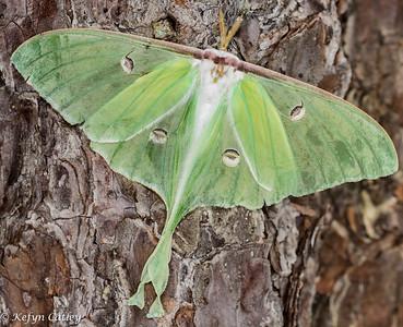 LEPIDOPTERA: Saturniidae: Actias luna, luna moth