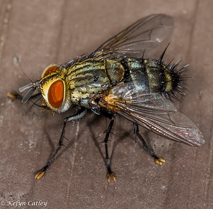 DIPTERA: Calliphoridae: blow flies, Calliphora livida