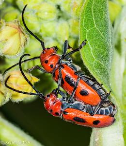 COLEOPTERA: Cerambycidae: Tetraopes tetrophthalmus, red milkweed beetle