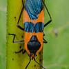 HEMIPTERA: Lygaeidae: Oncopeltus fasciatus, milkweed bug