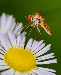DIPTERA: Bombyliidae: bee flies, Geron sp.