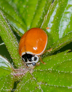 COLEOPTERA: Coccinellidae: Cycloneda munda, spotless ladybug (native sp.)