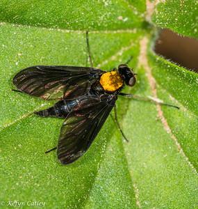 DIPTERA: Rhagionidae: Chrysopilus thoracicus, goldenbacked snipefly