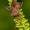 HEMIPTERA: Coreidae: Euthochtha galeator, helmeted squash bug.