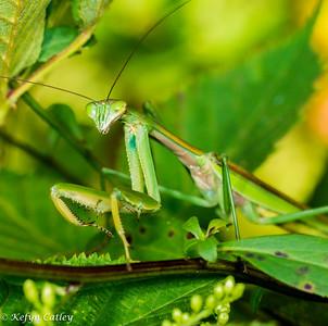 MANTODEA: Mantidae: Tenodera sinensis, Chinese mantis