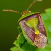 HEMIPTERA: Pentatomidae: Banasa dimidiata, green and brown stink bug